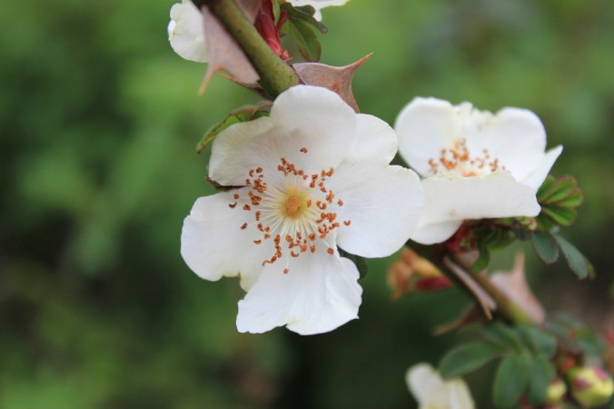Rosa omiensis pterecantha