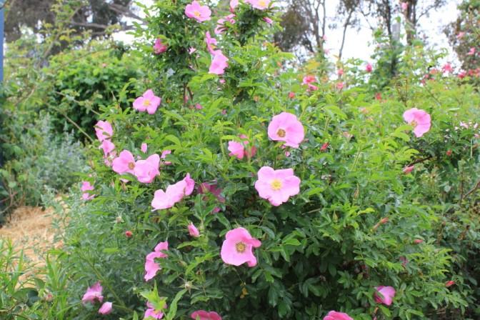 Rosa nitida