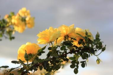 Rosa harisonii