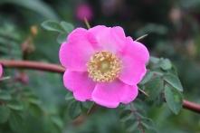 Rosa sweginzowii macrocarpa