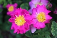 Rosa gallica violacea