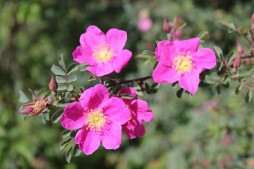 Rosa willmottiae