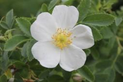 Rosa fedtshenkoana