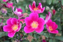 Rosa spinosissima 'Single Purple'