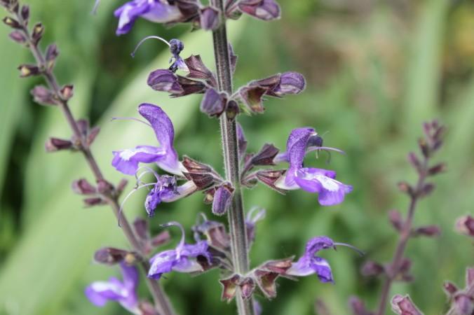 Salvia forskaholei