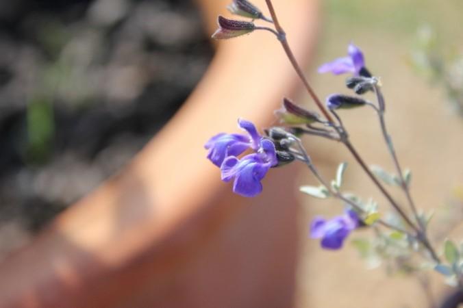Salvia thymoides