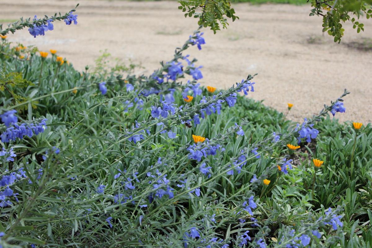 Salvia azurea | huon perennials