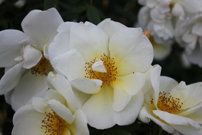 "Rosa 'Fruhlingsgold"""