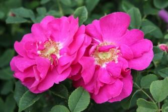 Rose du roi afluers Paupre