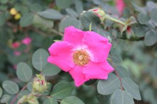 Rosa davidii