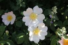 Rosa macrantha