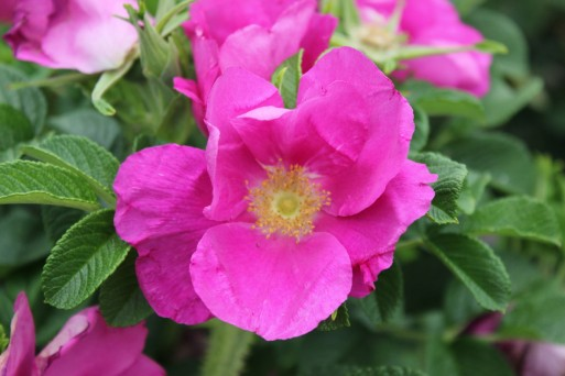 Rosa rugosa typica