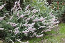 Salvia 'Pink Velour'