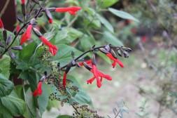Salvia gesneriifolia