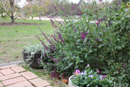 Magenta magic in front, Salvia chionophylla in black pot