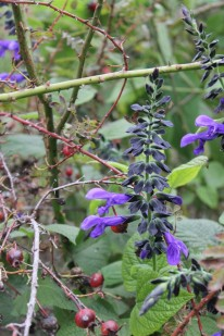 Salvia 'Costa Rican Blue'