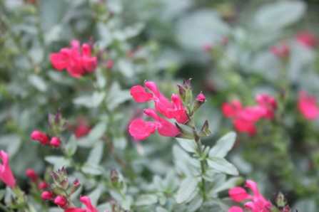 Salvia nuerepia