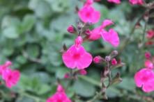 Salvia 'Pennys Smile'