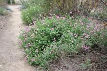 Salvia 'Musk Pink'