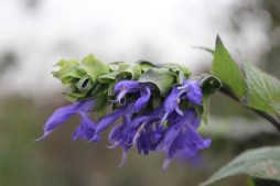 Salvia atrocyana