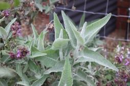 Salvia canariensis var. candissima