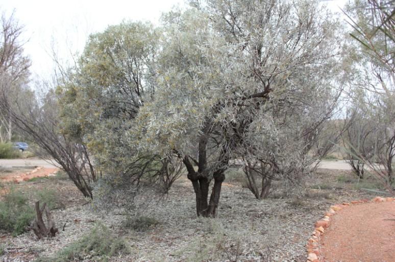 Acacia aneura 2