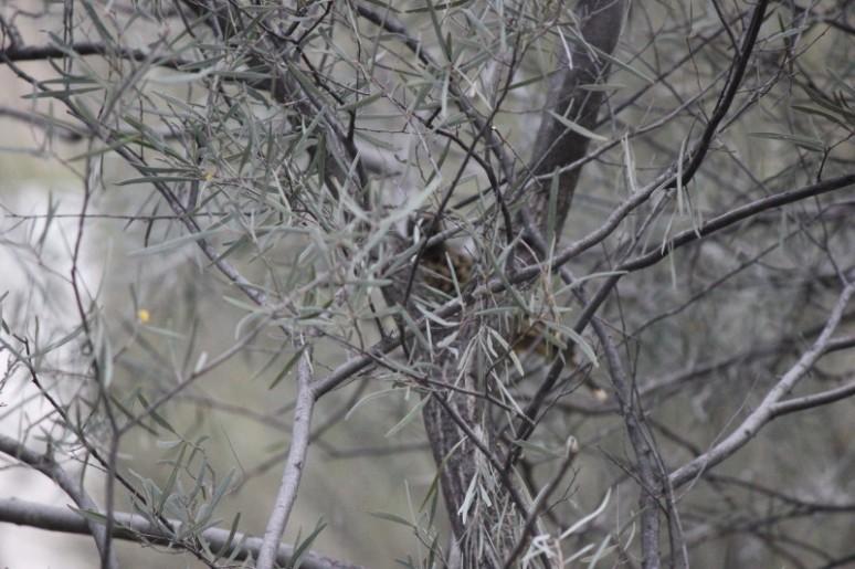 Acacia aneura 3