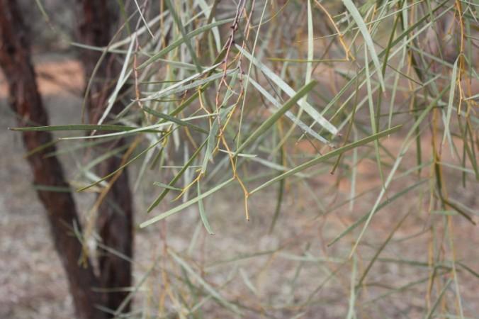 Acacia desmondii 2