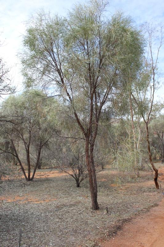 Acacia desmondii
