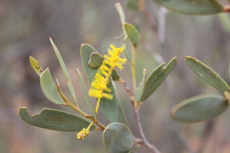 Acacia kempeana 2