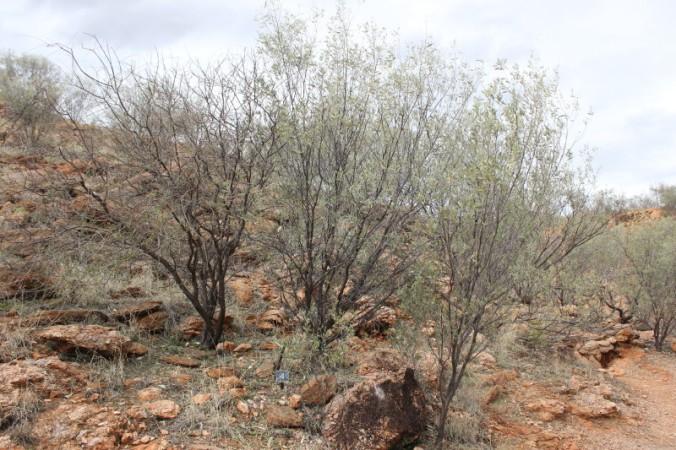 Acacia kempeana