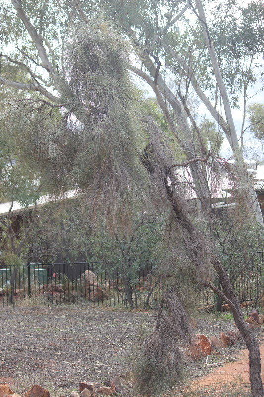 Acacia peuce 2
