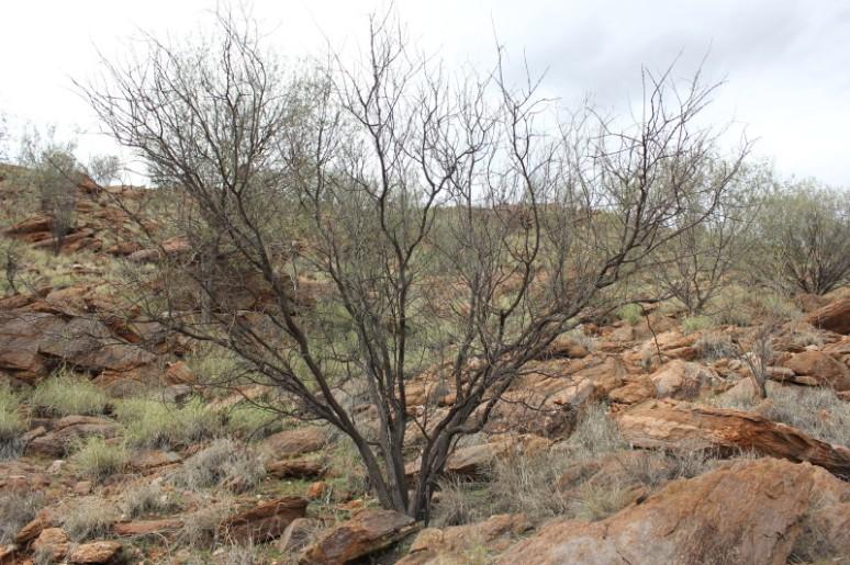 Acacia tetragonophylla 2