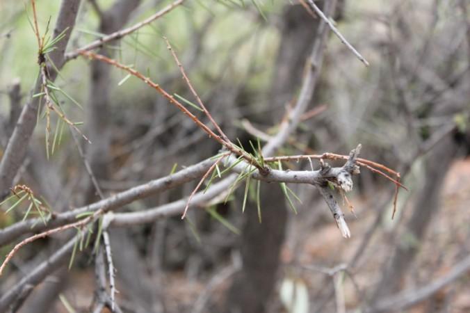 Acacia tetragonophylla