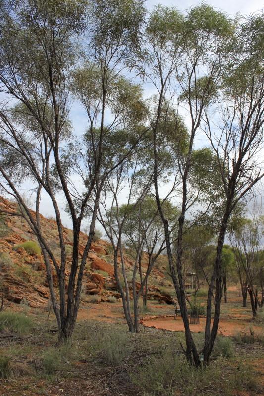 Acacia undoolyana