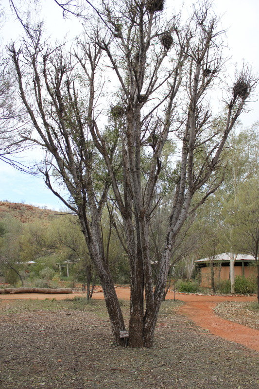 Erythrina vespertilio