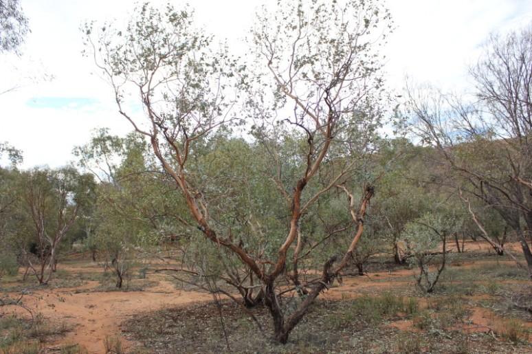 Eucalyptus gamophylla