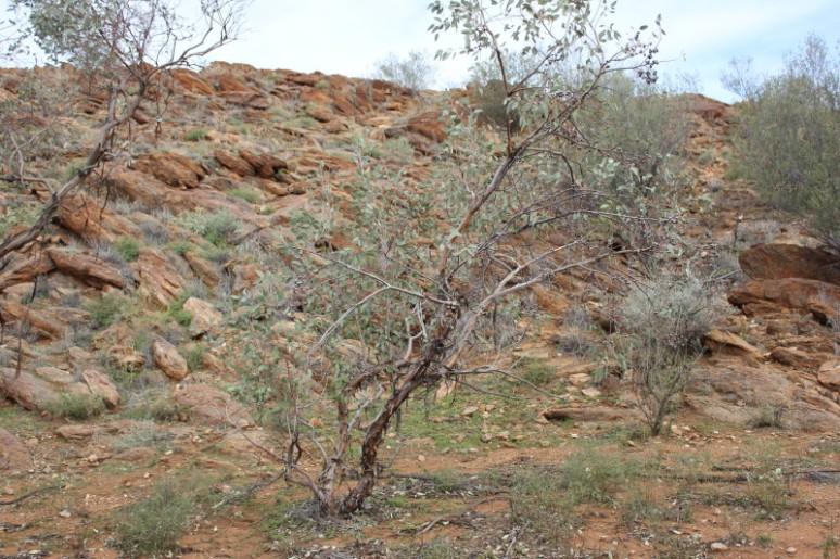 Eucalyptus oxymitra 2