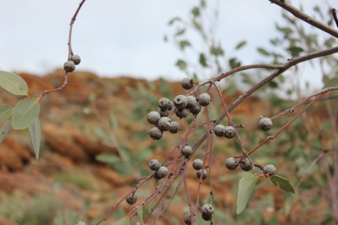 Eucalyptus oxymitra