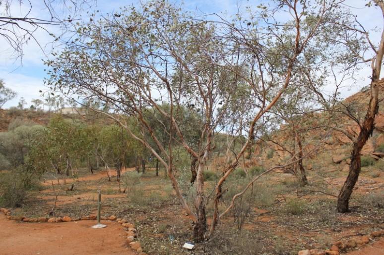 Eucalyptus sessilis