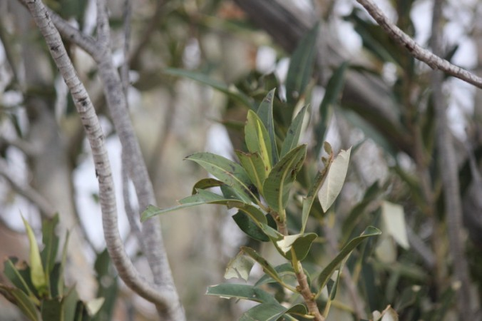 Ficus platypoda 2